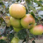 orchards-rediscovering-local-varieties