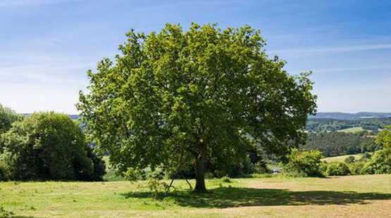 sto_oak_tree_555x310